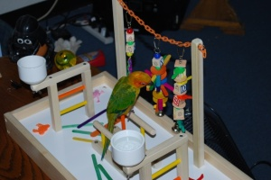 RickyBobby on Conure Play Gym