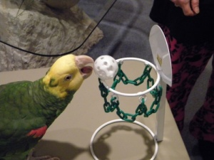 Mango Basketball Hoop for Parrots