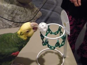 Mango Basketball Hoop for Parrots