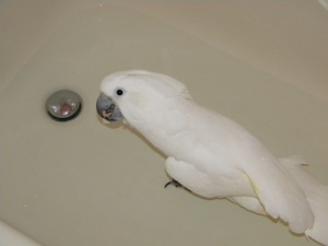 Marshmellow the Umbrella Cockatoo and her Foot Bath