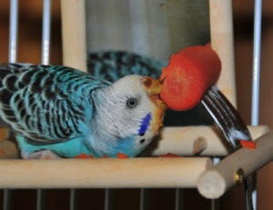Vitamin A and your Parrot