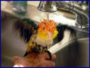 Bathing Your Parrot