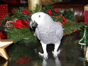 Holiday Safety Tips for your Bird