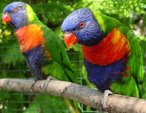 Lories and Lorikeet Parrots
