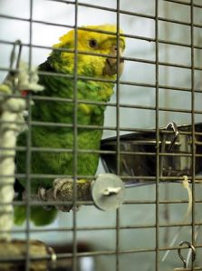Parrot found in Chicken Coop