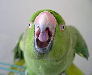 When your Parrot Screams