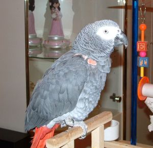 African Grey Parrot Jerry