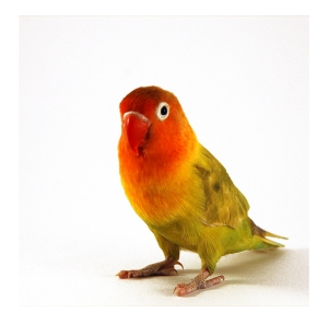 Lovebird as Pets