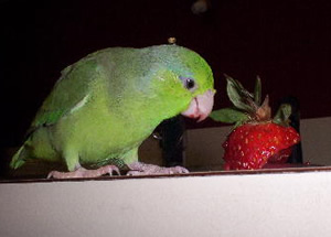 Parrot Eating Strawberries
