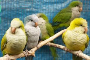 Heatstroke and Parrots