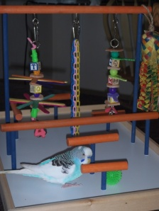 Blue the Parakeet and his new FunTime Birdy Playgym