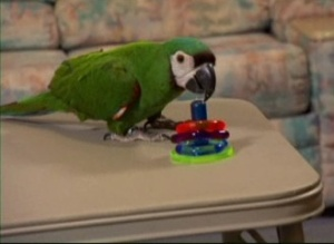 Buddy the Severe Macaw playing Ring Toss