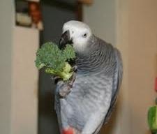 Grey Eating Veggies