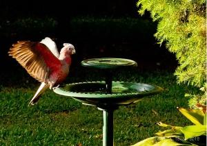 Pink Galah Parrot