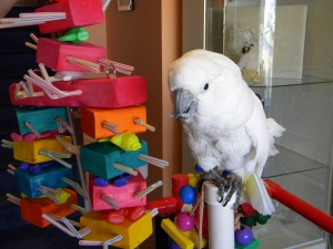 Umbrella Cockatoo named Marshmellow