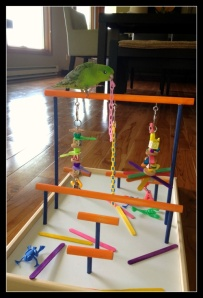 Kiwi the Lineolated Parakeet on his Freshman Playgym by FunTime Birdy