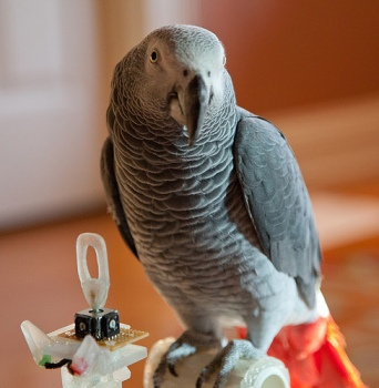 pepper the African Grey