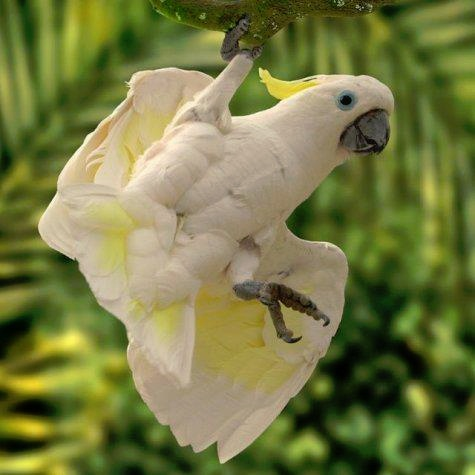 Just hanging Cockatoo for FB