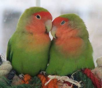 LOVE BIRDS (4)