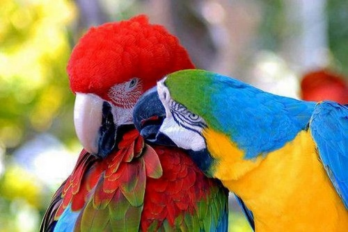 macaws for FB