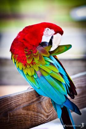 201204007-1600-parrot-mcaw-preening-colorful-1335283449