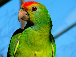 Red-browed_Amazon_parrot