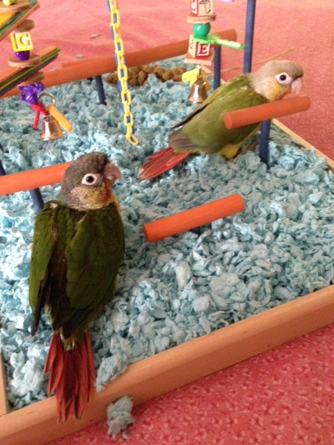 Baby Green Cheek Conures