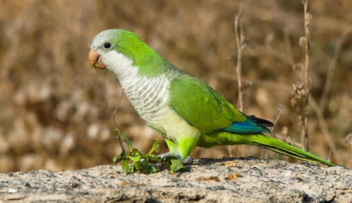 quaker-parakeet-celebrates-40-years-in-United-States
