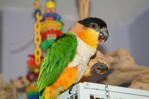 Caique Parrots