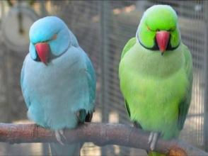 Indian Ringneck Parrots Funtime Birdy Parrot Lovers Blog