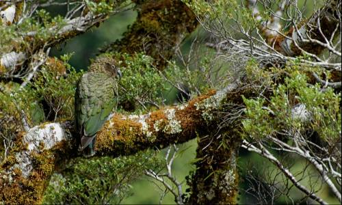 A camouflaged Kea, Fiordland National Park, Milford Sound, New Zealand.
