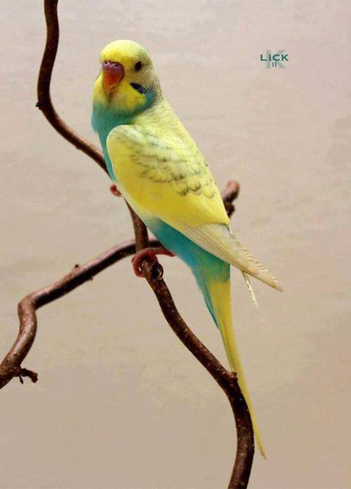 beautiful parakeet