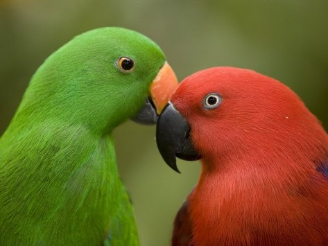 Male and female Eclectus for FB