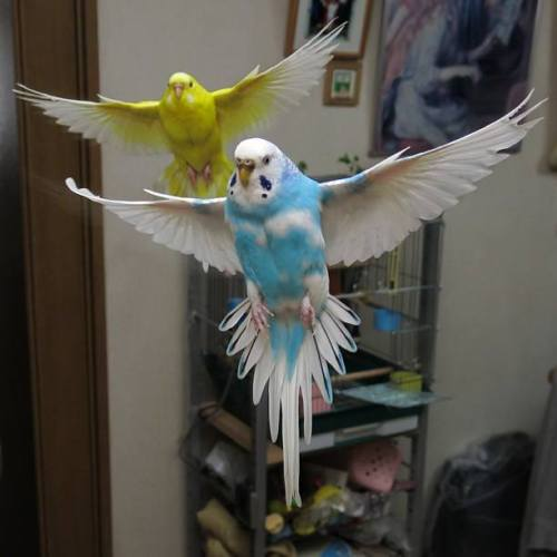 Flying Parakeets