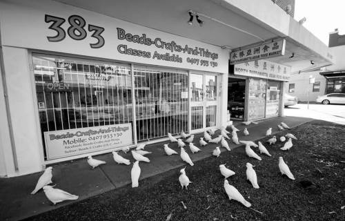 Cockatoos waiting to get in store
